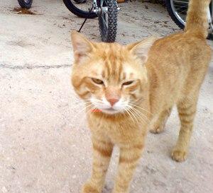 Saudi Cat Pic 2